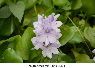 Water lilies plant is often in rare valley which look very beautiful in appearance, water hyacinth plant often grows in water.