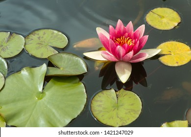 Water Lily Pond Images Stock Photos Vectors Shutterstock