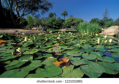 Water lilies in a pond at Alice Keck Park, one of the many parks of Santa Barbara, California, USA.