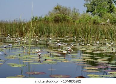 Water lilies in a pond in the Okavango Delta near Maun, Botswana