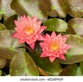 Water lilies at Sarah P. Duke Gardens in Durham, NC