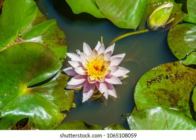 Water Lillie in a pond