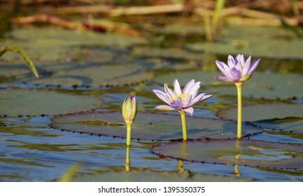 Water Lillies Arnhem Land Northern Territory