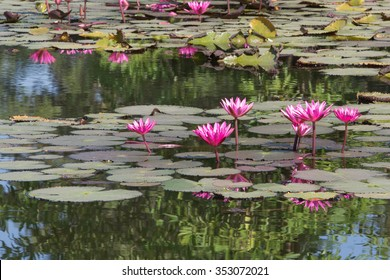 Water Lillies ,Water Lily ,Lotus