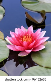 Water Lilly,