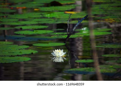 Water lilly floats on the surface of a swampy backwater in Louisiana.  White bloom is perfectly reflected in the glassy surface.