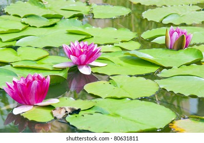 1000 Pink Lotus Blossom In The Swamp Pictures Royalty Free
