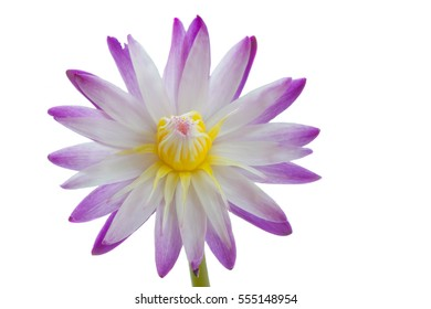 Water Lilly flower isolated on white background