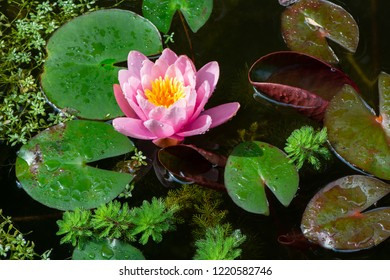 Water lilly and other aquatic plants like watermilfoil and water-starwort in a pond
