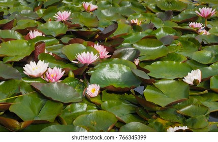 Water lilly plants with green pads or leaves and pink blossoms floating