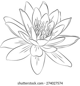 Water Lilly Sketch