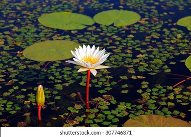 water lily - Shutterstock ID 307746371