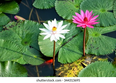 Water Lily Beautiful Flower ,natural background, soft focus