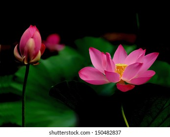 Water lily blossom and bud