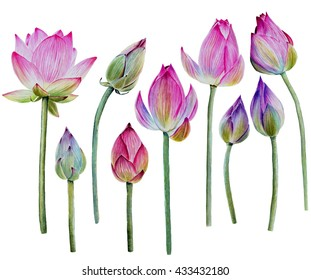 Water Lily buds or lotus flower buds. Hand drawn, watercolor, isolated on white background.