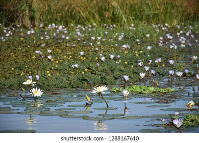 Water lily in Djoudj national park