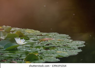 Water lily field with a white flower of a water lily, with intentional sunspots and overexposure in backlighting, plant