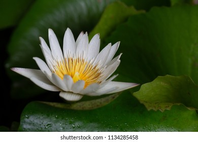 Water lily flower blooming with green leaf in the pond in dim light / Select focus