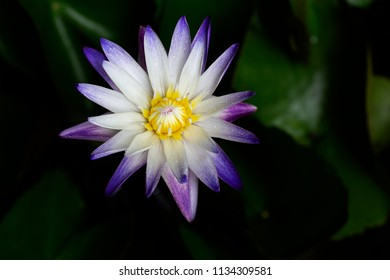 Water lily flower blooming with green leaf in the pond in dim light / Select focus and space for texts