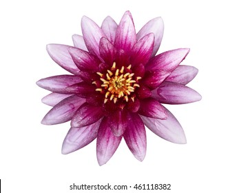 Water lily flower isolated, on white background, with clipping path. View straight from above.