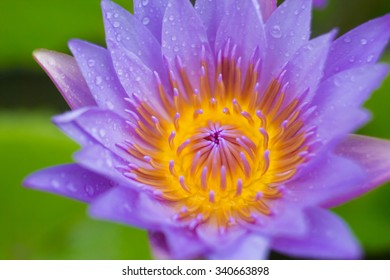 water lily flower (lotus) and leaf , selective focus , blur background