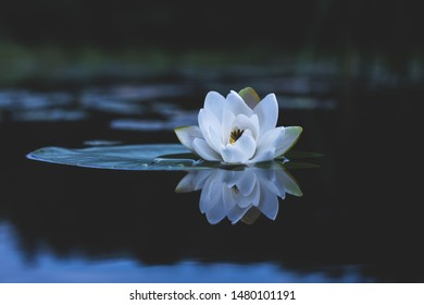 Water lily flower. Nymphaea alba, also known as the European white water lily, white water rose or white nenuphar
