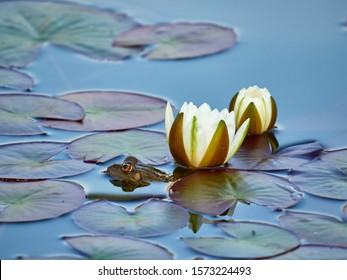 Water lily flower on the lake with a frog