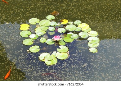 Water lily flower in a pond with goldfishes
