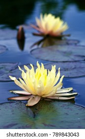 Water lily flower in pond. Nympaea 'Texas Dream'