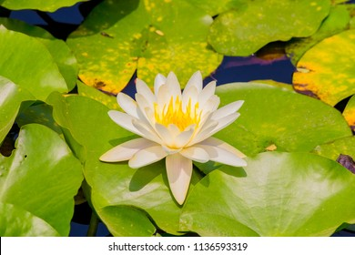 Water lily flower.background is Water lily leaves.Shooting location is Yokohama, Kanagawa Prefecture Japan.