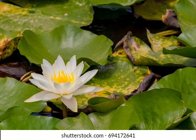 The Water lily flower.background is Water lily leaves.Shooting location is  Yokohama, Kanagawa Prefecture Japan.
