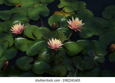 Water lily flowers in the botanical garden. - Shutterstock ID 1982241605