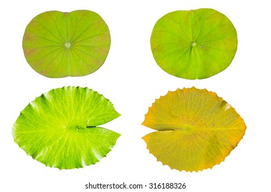 water lily green leaf  isolated on a white background