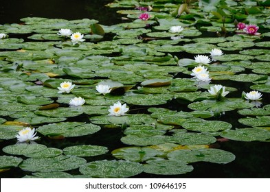 Water lily of Heian Jingu Shrine in Kyoto.