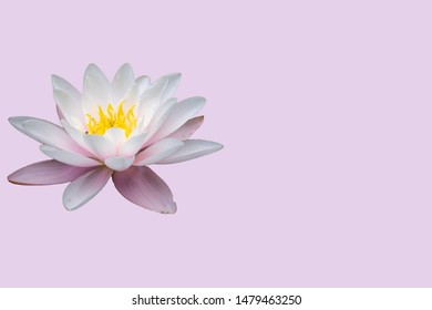 Water lily isolated on pink background