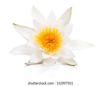 Water lily. Isolated on white background