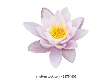 water lily isolated on a white background