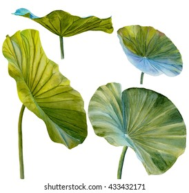 Water Lily leaf or lotus leaf. Hand drawn, watercolor, isolated on white background.