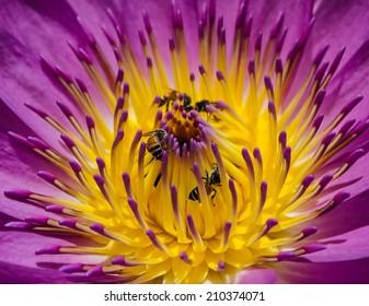 Water lily,  Lotus flower