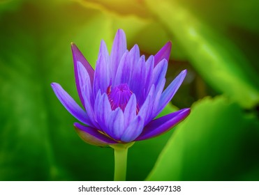 water lily lotus flower, blue