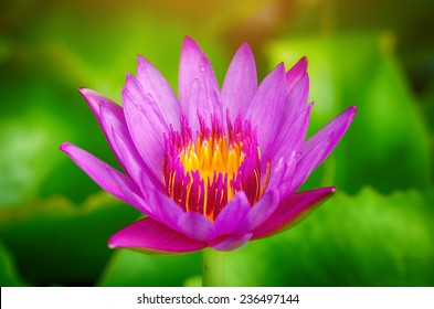 water lily lotus flower on garden, pink