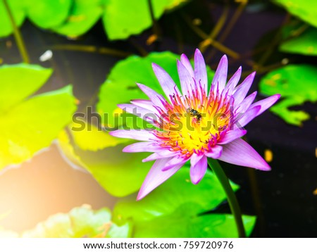 Water Lily Lotus Flower On Morning Stock Photo Edit Now 759720976