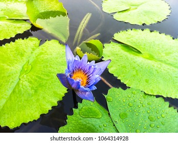 water lily or lotus flower in a pod in Singapore