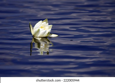 Water lily - lotus flower with reflection on blue water