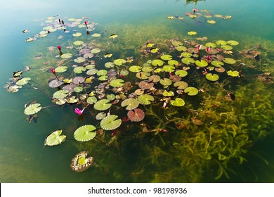 Water lily or lotus on water