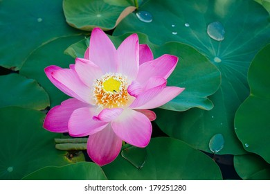 Water lily, Lotus in the pond.