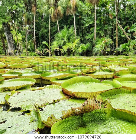 Water lily in Mauritius