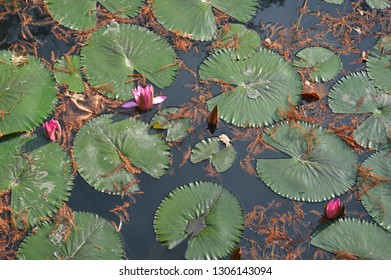 The water lily or  Nimphea (Numphaeaceae) The unigue pond is in Miskolc (Hungary). It is powered by warm springs, that full different gases. It is late autumn,but water lilies always beauty!