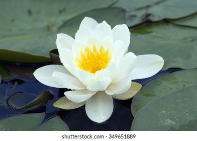 Water Lily; Nymphaea alba