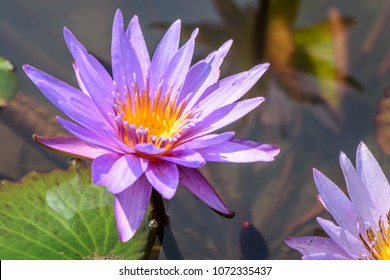 Water lily (Nymphaea ap.) ; Hybrid, aquatic plant. The flowering rise out of the water. Each petals in white-purple shade with many golden stamens at the center. fragrant aroma.
